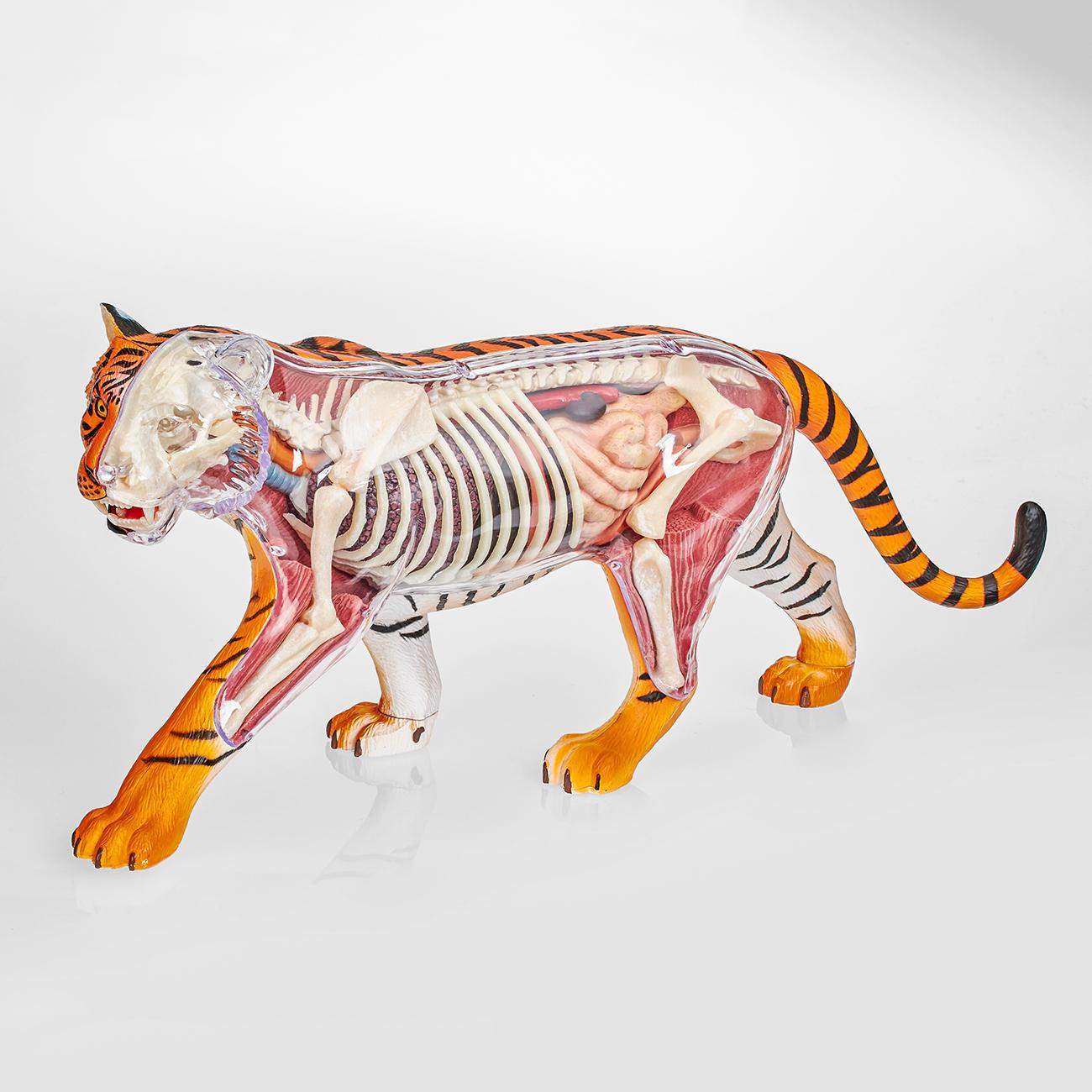 3D-Anatomie-Puzzle - Tiger