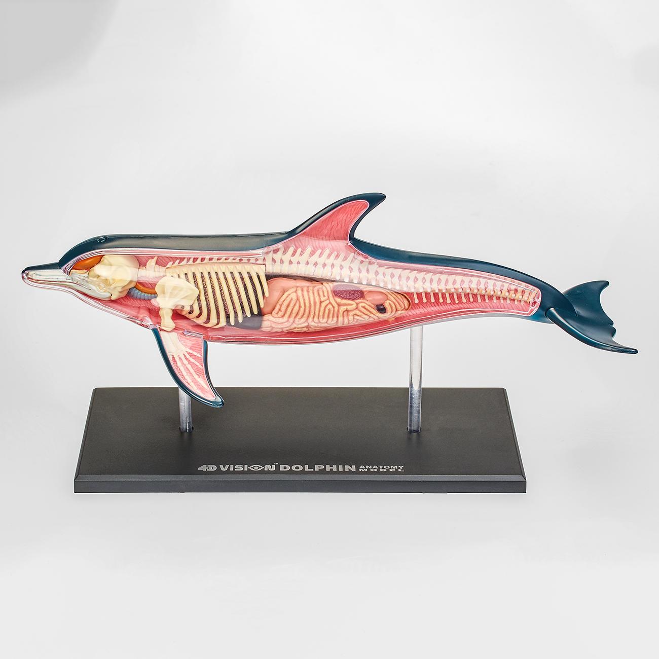 3D-Anatomie-Puzzle - Delfin