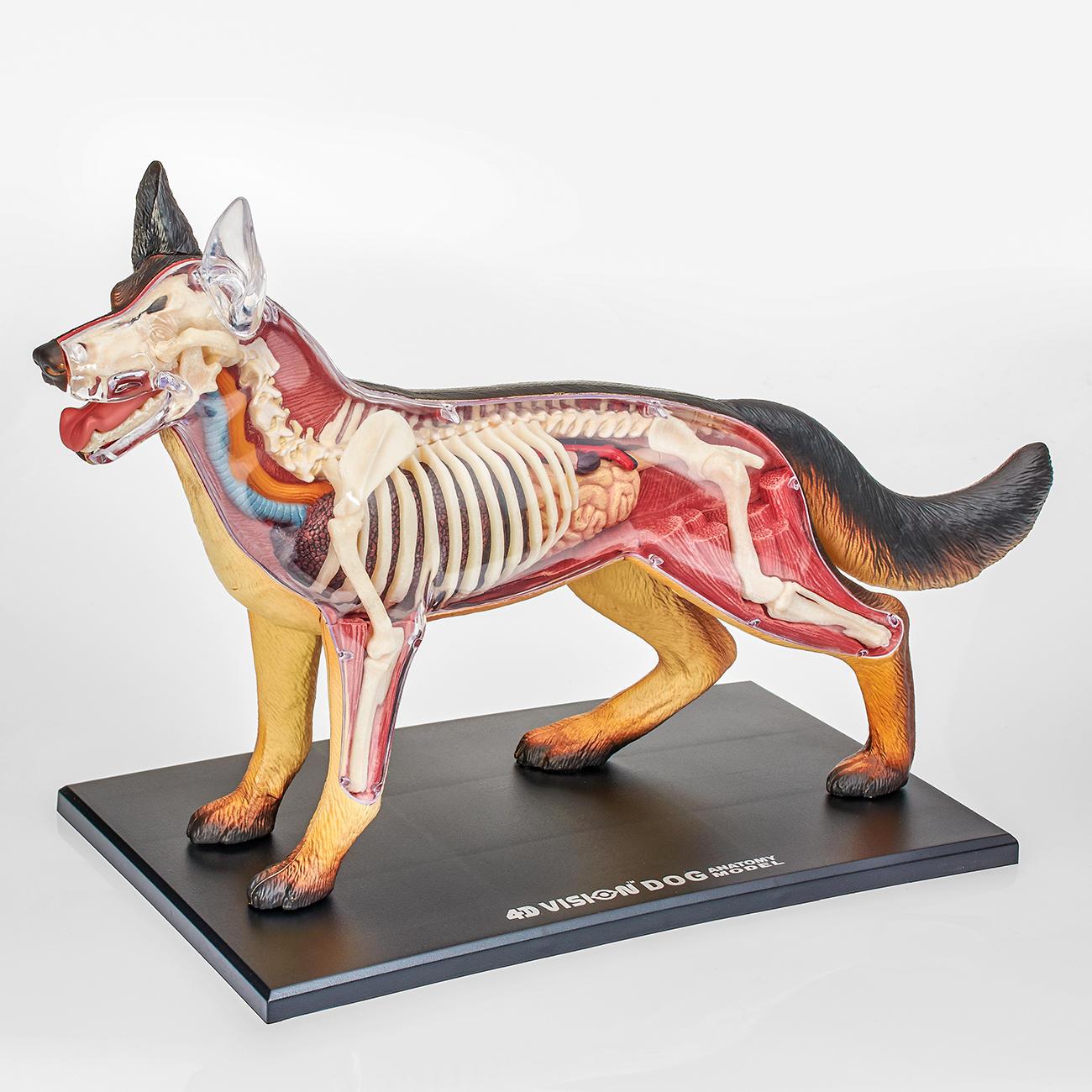 3D-Anatomie-Puzzle - Hund