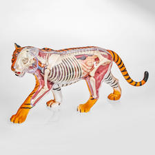 """3D-Anatomie-Puzzle """"Tiger"""" 3D-Anatomie-Puzzles"""